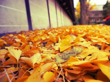 黄色の絨毯・東本願寺と渉成園