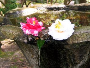 隠れた椿の名所・左京区「法然院」