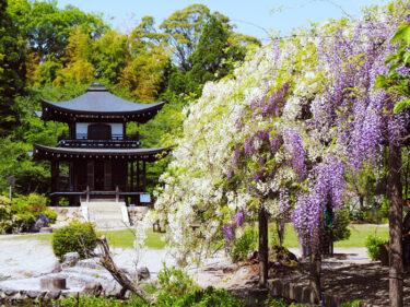 藤と池の見事な共演 山科・勧修寺